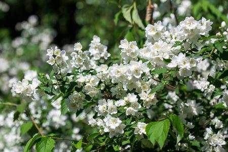 philadelphus: Philadelphus - Mock Oranges, jasmine spring flowers in the garden. Stock Photo