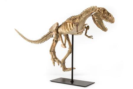 rex: Dinosaur Tyrannosaurus Rex skeleton on a white background Stock Photo