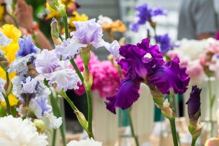 Close up of multicolour Bearded Iris Flowers Stock Photo