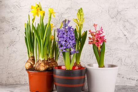 Hyacinths and Daffodils in flower pots on light background