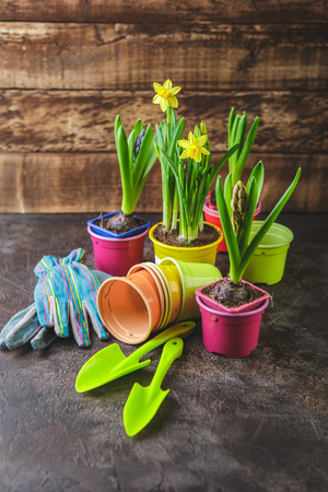 Spring flowers in pots narcissus and hyacinths with gardening tools on dark background Stock Photo