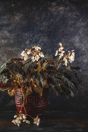 Begonia rex with dark green leaves and white flowers in pot on dark grey background