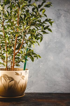 Plant ficus benjamina in a pot on gray background Stock Photo