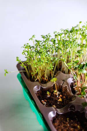 The microgreen in plastic trays for planting young plants. Microgreen are young vegetable green or sprouts, superfood, the concept of a healthy lifestyle