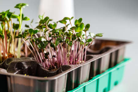 Microgreens of red cabbage growing in soil against a white background. Superfood, the concept of a healthy lifestyle.
