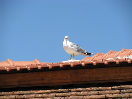 Gull on roof