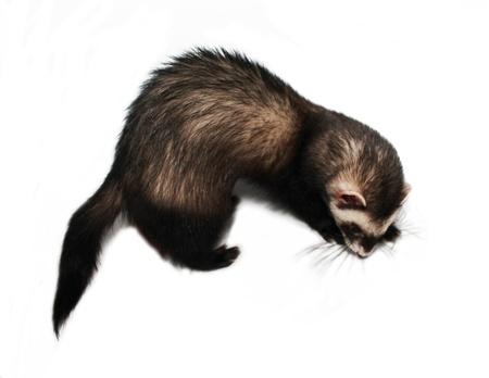 Ferret on white background Stock Photo