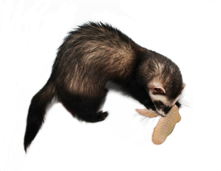 Ferret with chicken wing on white background Stock Photo