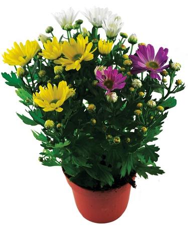 chrysantheme mix Stock Photo