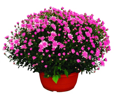 pink chrysantheme