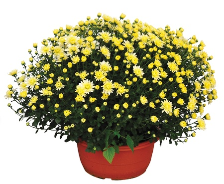 yellow chrysantheme Stock Photo