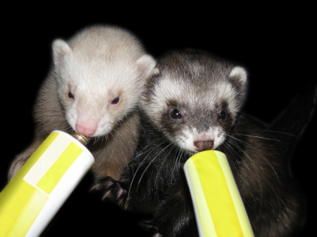 Ferrets nutripet time Stock Photo