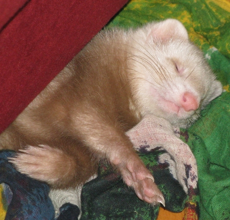 Sleeping ferret Stock Photo