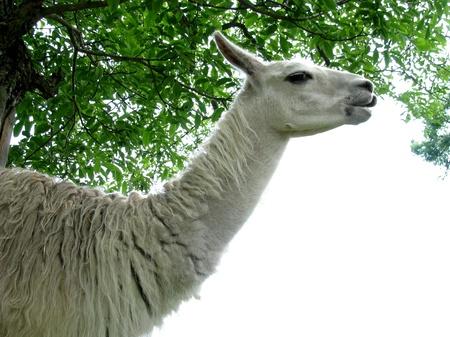 Lama Stock Photo