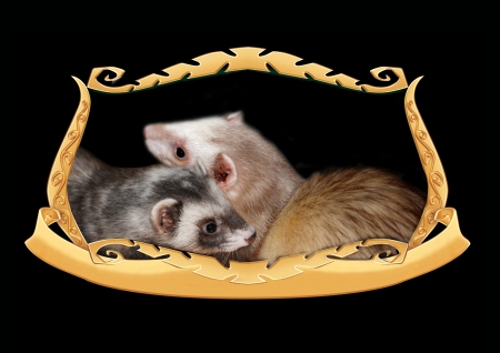Ferrets in a frame