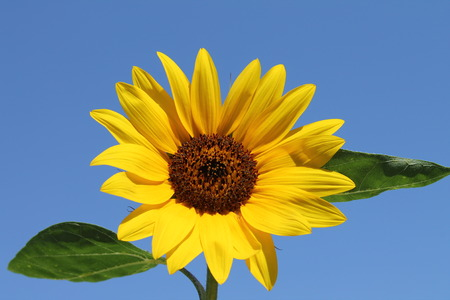 Isolated sleavesunflower