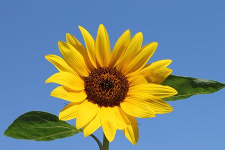 Isolated sleavesunflower