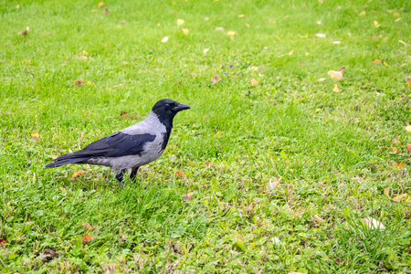Hooded Crow, Corvus cornix on a background of green grass with yellow leaves. Smart grey and black crow bird  standing still on the grass, taken from side