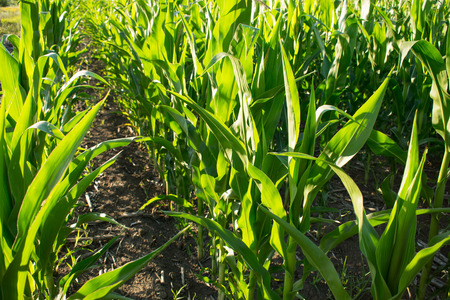 Rows of ripening green corn in cornfield on a sunny day.  Ripening of corn in a rural plantation 写真素材 - 103504921