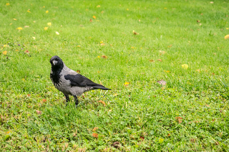 Hooded Crow, Corvus cornix on a background of green grass with yellow leaves. Smart grey and black crow bird looks into the camera and turned her head to one side Stock Photo