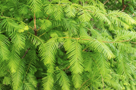 Green branches and leaves of the Gold Rush, Dawn Redwood, Metasequoia glyptostroboides