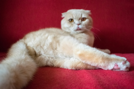 Adult Scottish fold cat lies on a red background. Castrate a male cat. Feline castration neutering surgery. Procedure that removes the testicles. Removal of sexual urges. Selective focus