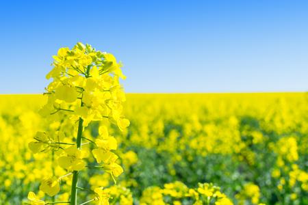 Rapeseed (Brassica napus), rape, oilseed rape field.  Bright-yellow flower Brassica napus close up. Rapeseed Oil is used as diesel fuel, biodiesel. Imagens