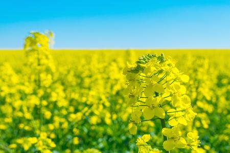Rapeseed (Brassica napus), rape, oilseed rape field.  Bright-yellow flower Brassica napus close up. Rapeseed Oil is used as diesel fuel, biodiesel. Reklamní fotografie