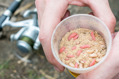 Living red and white maggots, live bait for fishing in round box in men hands against feeder reel. fishing lure maggots close up