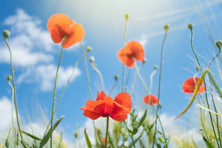 Beautiful bright red poppies with green grass and leaves in the background of blue sky and clouds. Close up of red poppy flowers in field. Few red flowers in the summer field. Stock Photo