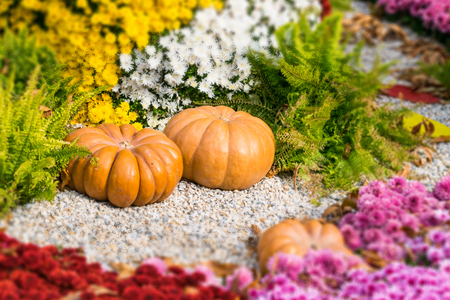 Fresh orange pumpkins and chrysanthemums in autumn garden. Fall garden, park with decorative pumpkin, plants, flowers and stones. Halloween, Thanksgiving, decoration for the holiday house and garden.