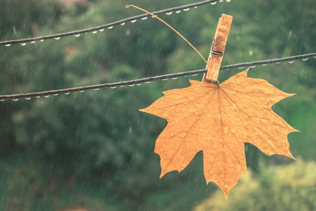 Yellow maple leaf in the rain. Autumn fallen leaf on a clothespin on a clothespin becomes wet under a rain against a background of trees Stock Photo