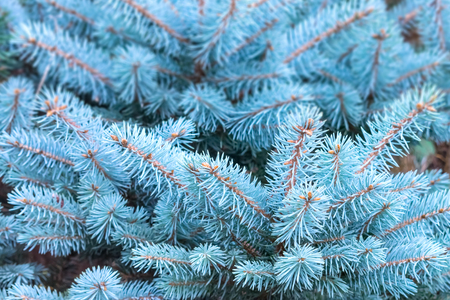 Blue spruce branches background. Christmas tree branches with needles. Blue spruce, green spruce, white spruce, Colorado spruce, or Colorado blue spruce, Picea pungens close up Stock Photo