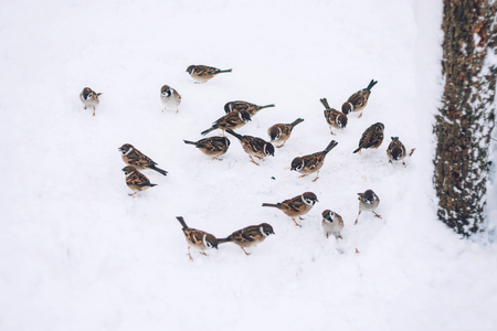 Birds sparrows eating seed from snow ground in the winter park. Wooden handmade bird feeder in winter snow cold day.