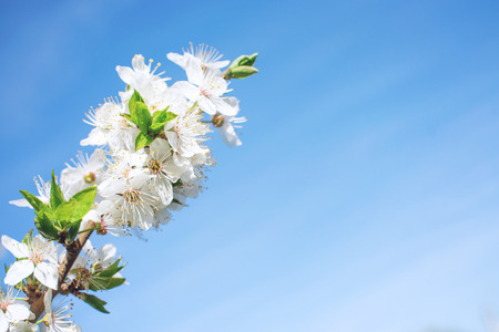 Spring background. Cherry Blossom trees, white Sakura flowers  and green leaves on blue sky background.