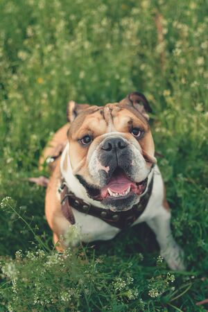 Funny smiling English bulldog. Cute Young english bulldog playing in green grass. Dog training. Happy bulldog runs in the meadow.