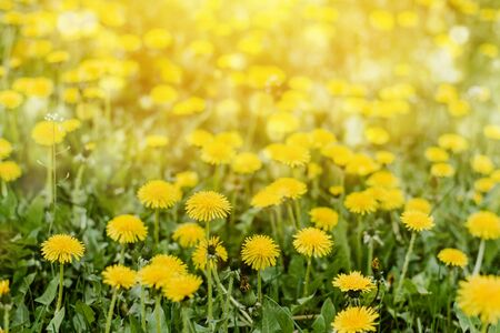 Bright  summer horizontal background, banner. Dandelions with sunlight on green grass. Green field with yellow dandelions. Closeup of yellow spring summer flowers