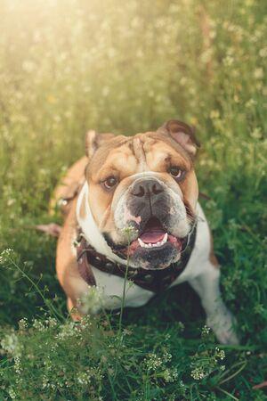 Funny smiling English bulldog. Cute Young english bulldog playing in green grass. Dog training. Happy bulldog runs in the meadow.