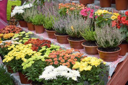 Street flower market, shop with various flowers in pots. Multicolored blooming heather, chrysanthemums in flower store. Reklamní fotografie