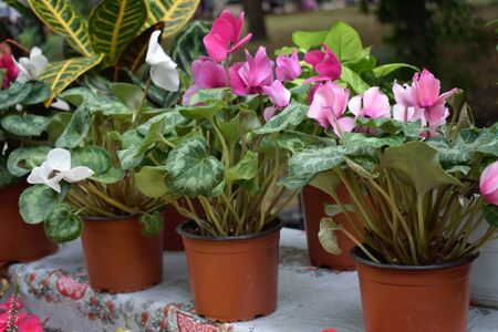 Street flower market, shop with various flowers in pots. Pink and white blooming cyclamen flower in a pot in flower store.