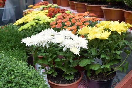 Street flower market, shop with various flowers in pots. Multicolored blooming chrysanthemums in flower store.