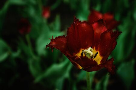 One terry burgundy tulip on a dark background close up. Red Tulip macro close up. Stock Photo