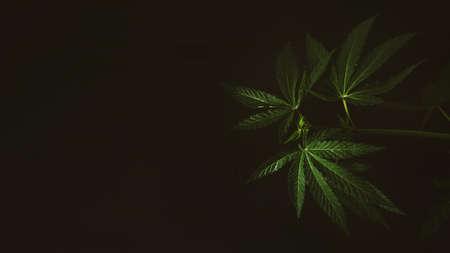 Marijuana leaves web banner, cannabis on dark background. Texture of Marijuana Cannabis Plants Indoor 写真素材