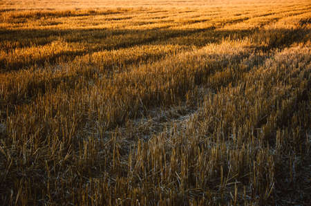 Rural landscape, agricultural natural background with copy space. Mown wheat field with rows of mown straw stubble.