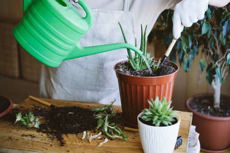 Home garden. Houseplant symbiosis. How to Transplant Repot a Succulent, propagating succulents. Woman gardeners hand transplanting cacti and succulents in pots with aloe Banco de Imagens