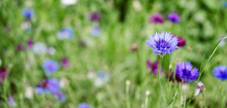Summer Cornflower Centaurea Cyanus Blue flower web banner. Blooming colorful cornflowers. Glade of cornflowers, macro of cornflower field 免版税图像 - 168508720