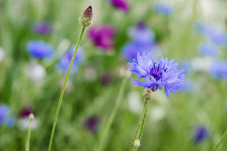 Summer Cornflower Centaurea Cyanus Blue flower web banner. Blooming colorful cornflowers. Glade of cornflowers, macro of cornflower field