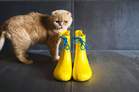 Rainy Mood, outfit for rainy day. Yellow rubber boots and scottish fold cat on gray sofa. Colors of the year Ultimate Gray and Illuminating yellow background.