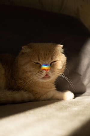 Pride month, lgbt rainbow symbol concept. Scottish fold cat with a colorful rainbow lgbt colors heart glare on the nose in sun light. Scottish fold cat with rainbow heart symbol on nose