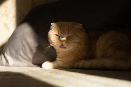 Pride month, lgbt rainbow symbol concept. Scottish fold cat with a colorful rainbow lgbt colors heart glare on the nose in sun light. Scottish fold cat with rainbow heart symbol on nose 免版税图像 - 168508795